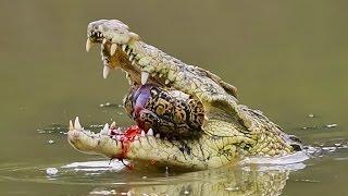 Desafios Mortais: Crocodilo do Nilo (Dublado) - Documentário National Geographic