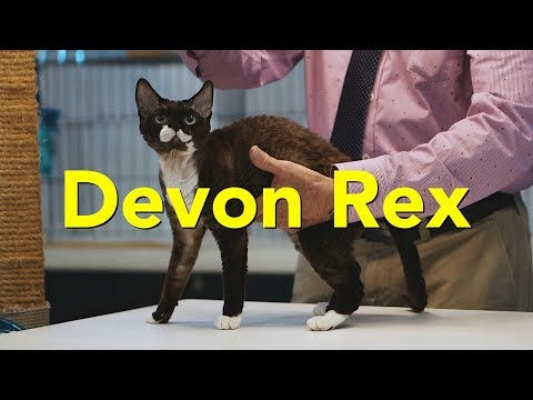 The Devon Rex at a TICA Cat Show