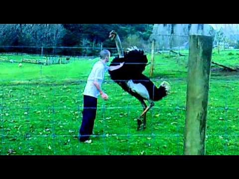 OSTRICH FIGHTING....MAN V BIRD