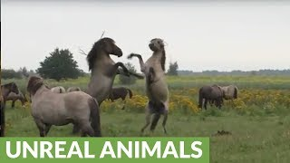 Majestic wild horses battle it out for herd leadership