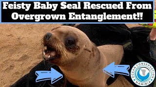 Feisty Baby Seal Rescued from Overgrown Entanglement