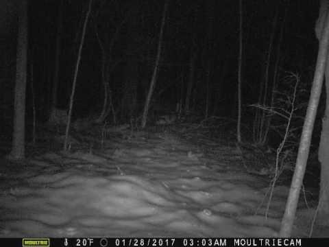 Raccoon on game camera