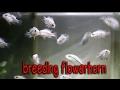 TUTORIAL natural breeding flowerhorn