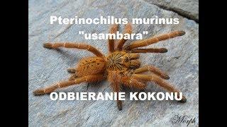 Baixar Pterinochilus murinus 'usambara' 🕷 agresja, odbieranie kokonu, przekładanie i L1 - spidersonline.pl