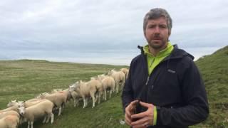 Meet Dan the Great Orme Shepherd & his flock of Lleyn sheep