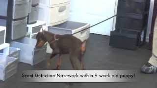 Doberman Puppy Doing Scent Detection Nosework In Nj