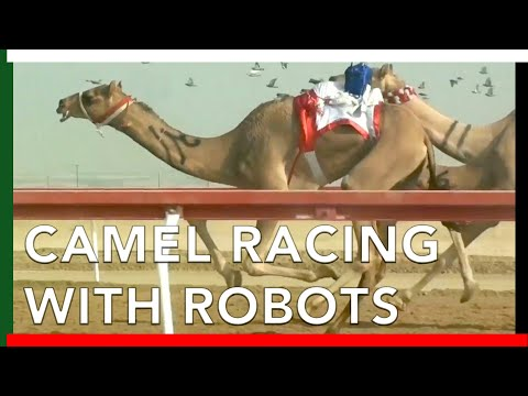 Camel Racing with ROBOT JOCKEYS in Abu Dhabi, UAE