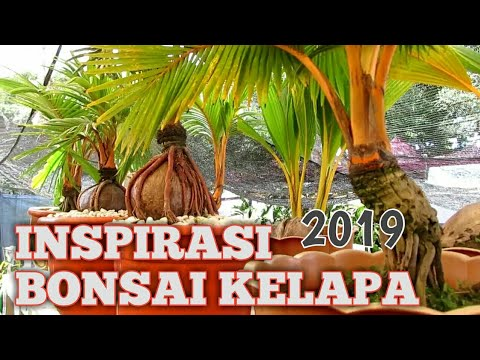 Inspirasi Bonsai Kelapa Indonesia Youtube