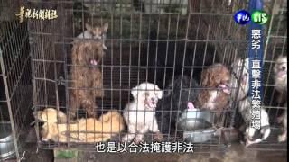 【惡劣直擊非法繁殖場】 全台寵物商機突破500億,但可愛貓狗、卻有許...