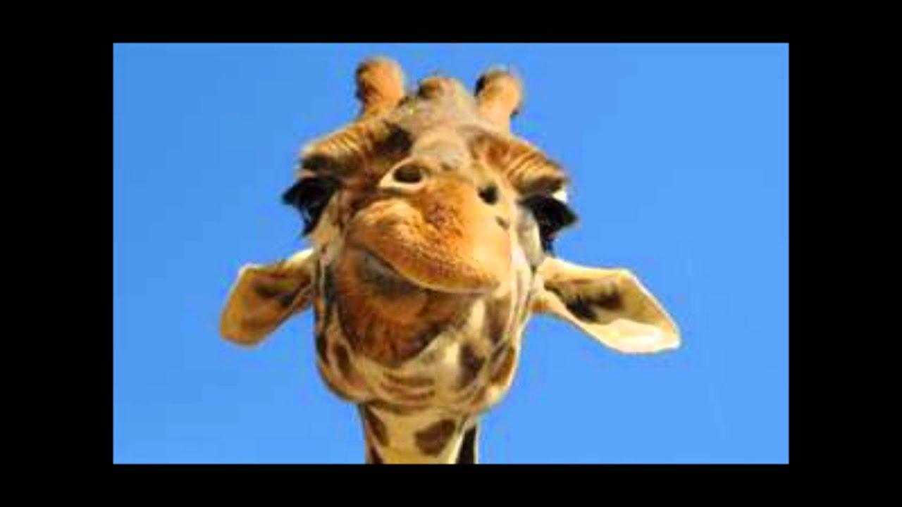 hur låter en giraff