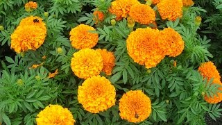 Identifying Marigolds: Amazing Health Benefits to you and your garden