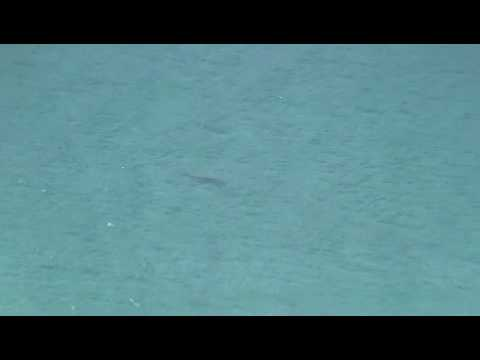 Great White Shark In Fish Hoek Cape Town