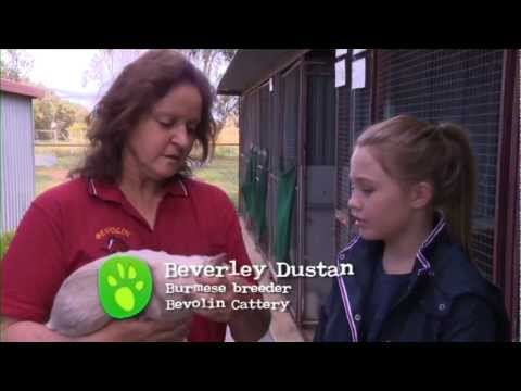Burmese Cats - All About Animals TV Show.mov