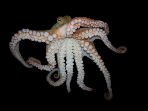 Octopus ATTACK!!! +Venomous Lion Fish - Tropical Reef Snorkeling - Papua New Guinea