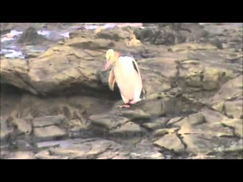 Yellow-eyed penguin in The Catlins, New Zealand 2012.