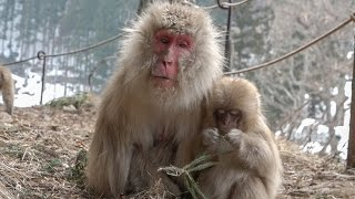 【SNOW MONKEY】 ☆Old Woman / Tokkuri 92☆ 1 地獄谷野猿公苑