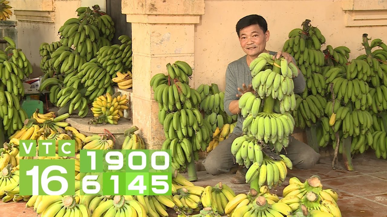 Chuối chín đổ bỏ vì Trung Quốc không thu mua | VTC16