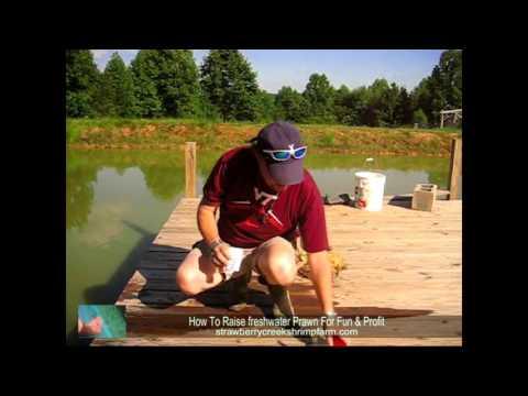 checking Ph In Freshwater Prawn (shrimp)Pond - YouTube