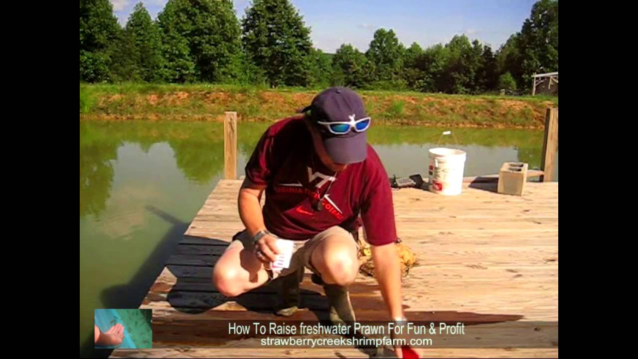 checking Ph In Freshwater Prawn (shrimp)Pond - YouTube