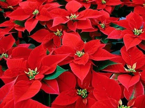 Stella Di Natale In Regalo Ecco Cosa Fare Per Farla Durare