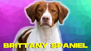 Brittany Spaniel Dog 101  Top 10 Facts and THINGS to Know