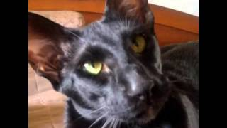 Приколы кошки - ориентал- мая 04, 2015