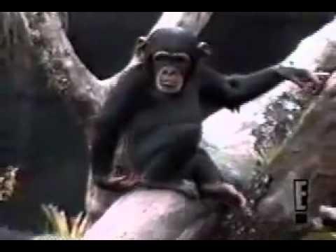 Khỉ con móc đít ngửi xong té xỉu. very funny