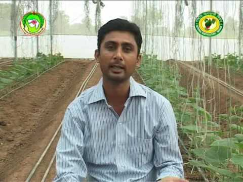 Hear about Capsicum cultivation in poly house directly from farmers of Gujarat