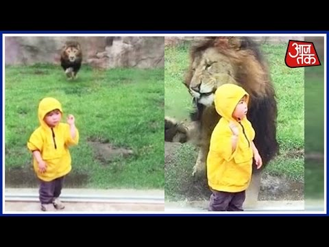 Lion Attempts To Attack Small Child In Zoo, Slams Headfirst Into Glass