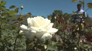 Chart Farm - Roses