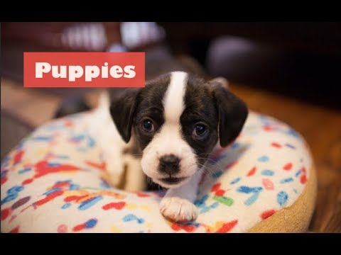 Cutest puppies playing 2019 | Funny Pet video | Cavalier King Charles Mix