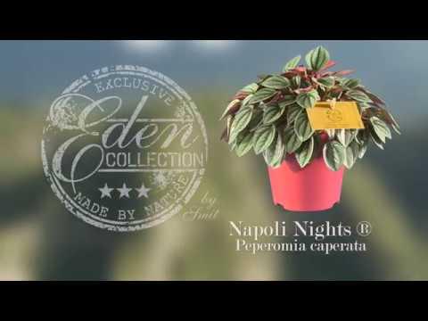 Peperomia Napoli Nights Napoli Nights Eden Collection Smit Kwekerijen