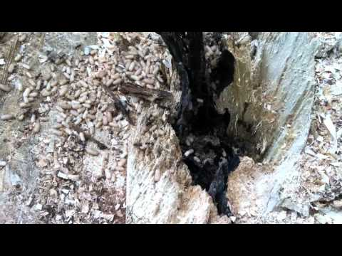 Carpenter Ants Nesting in a Tree Trunk