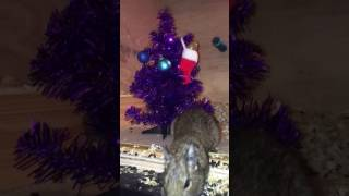 How to take a Christmas degu photo :D