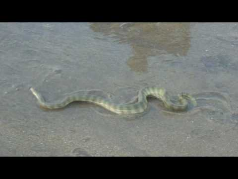 Viral video of Snake among Tourists at Juhu Chowpatty,  Mumbai, Maharashtra by dnyanesh T