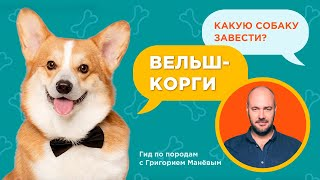 ВЕЛЬШ КОРГИ  ВСЕ О ПОРОДЕ / Обзор породы от кинолога Григория Манева