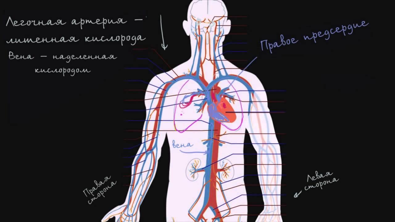 Кровообращение сердца человека схема фото 872
