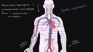 Система кровообращения и сердце