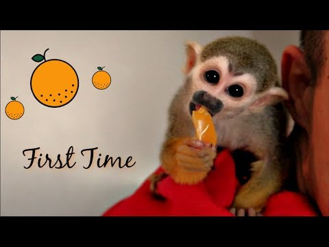 Curious Baby Monkey oLLie LOVES First oRange!