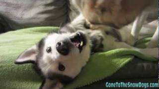 Dog Fight Siberian Husky Mean Dogs Attack Dog Fight Play