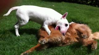 Young Bull Terrier Vs. Old Golden Retriever