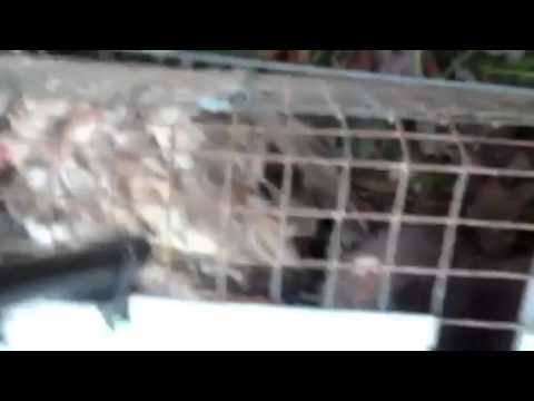 SCREAMING VICIOUS FISHER CAT( GRAPHIC)