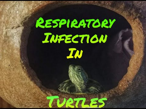 Symptoms Of Respiratory Infection In Turtles !
