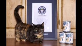 Манчкин - порода кошек с короткими лапами/Munchkin is a breed of cat with short legs