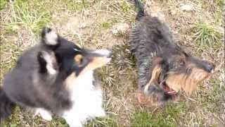 5 Month Old Sheltie Playing With A Dachshund.