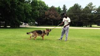 Tugging With Human Aggressive German Shepard | Majors Academy Dog Training And Rehabilitation