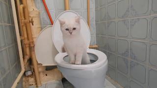 "Котенок ""ходит"" в унитаз"