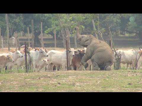 Baby Elephant And Cows