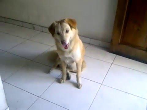 48+ Anjing kintamani mix golden terupdate