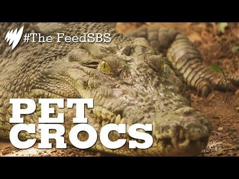 Pet crocodiles of the Northern Territory I The Feed